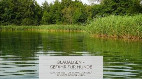 Blaualgen in Seen und Gewässern – Gefahren für vierbeinige Wasserratten