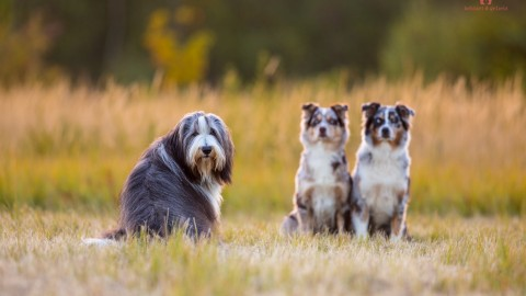 Bearded Collie & Australian Shepherd