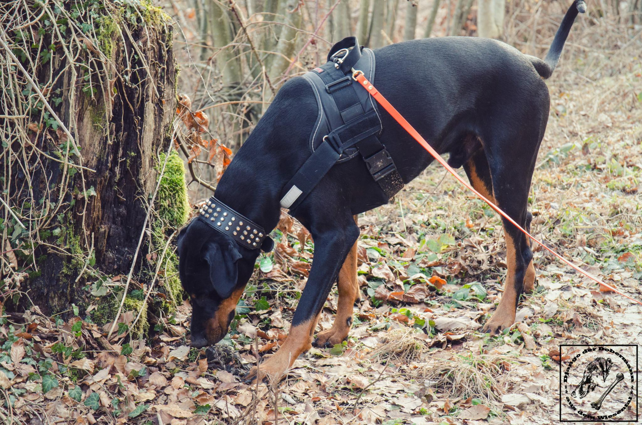Schnüffelnder Hund