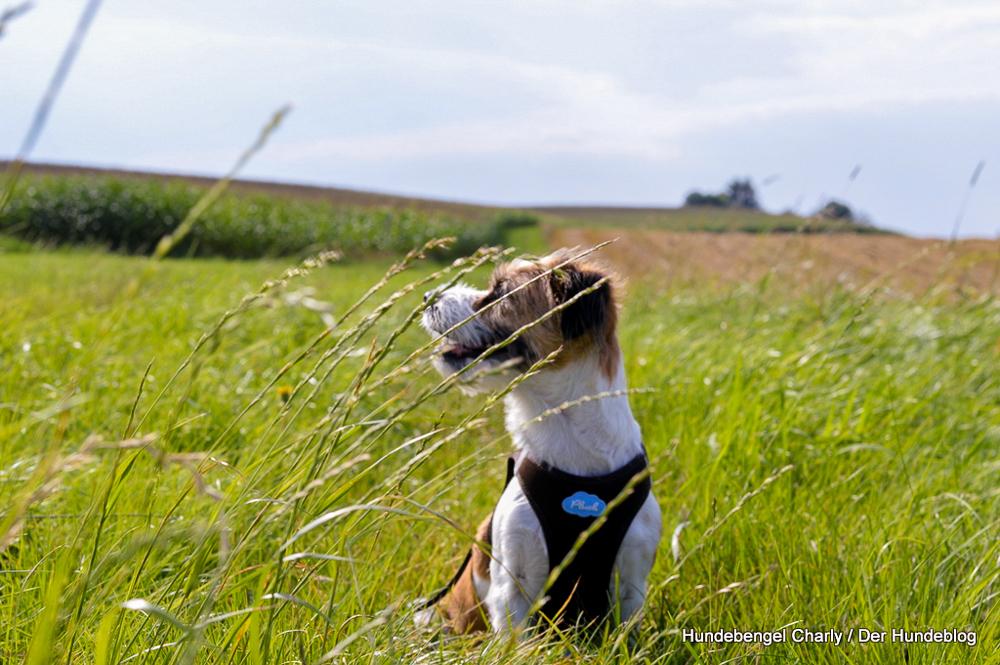Warum fressen Hunde Gras