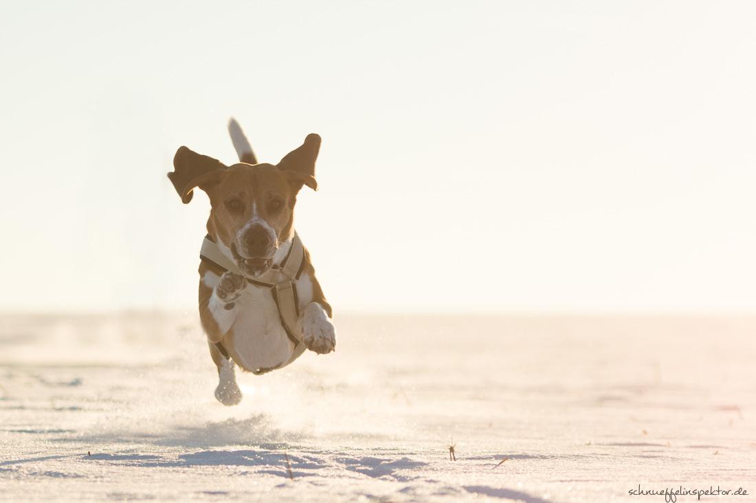 Beagle läuft weg