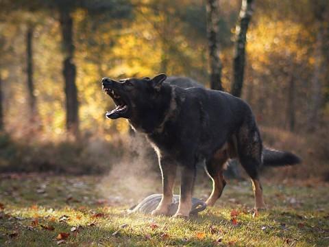 10 Fakten über Schäferhund Nubi | Typisch Schäferhund?