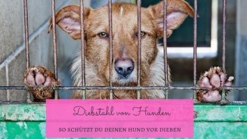 Diebstahl von Hunden – so schützt du deinen Vierbeiner