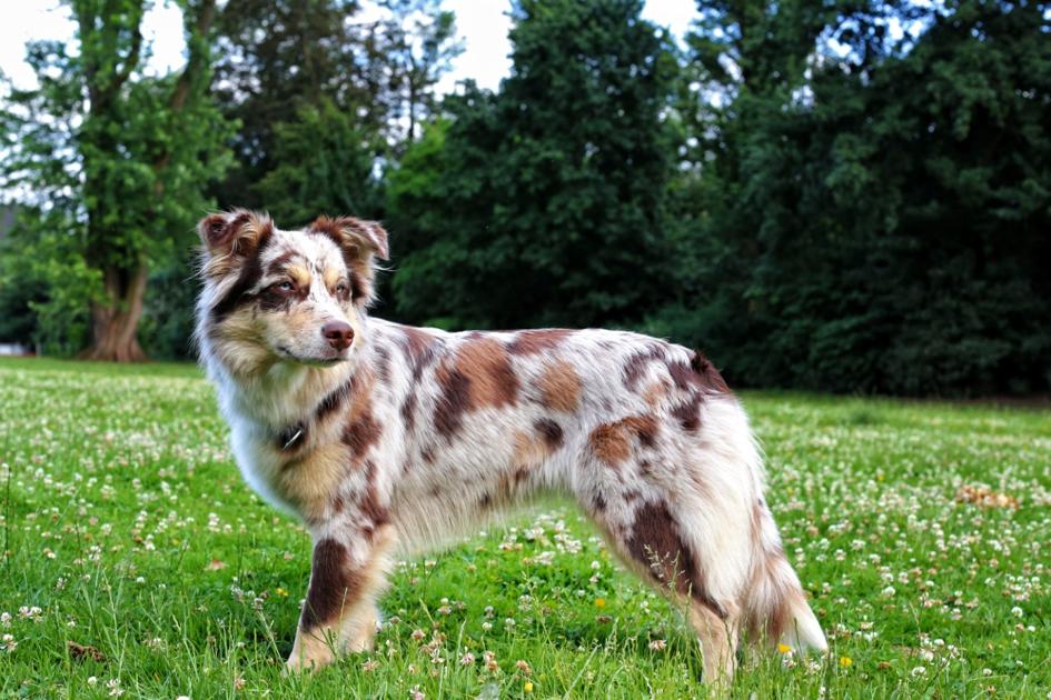 Fellpflege beim Hund Aussie 6