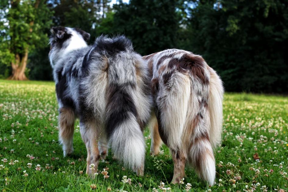 Fellpflege beim Hund Australian Shepherd 1
