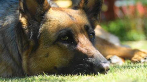 Schreckgespenst Schäferhundkeratitis