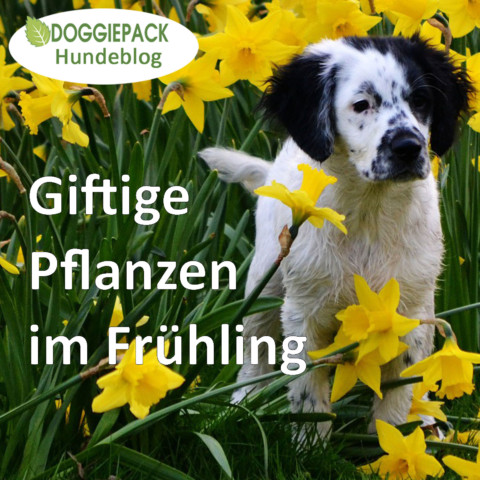 Hier soll Hund einen Bogen machen: Giftige Pflanzen im Frühling