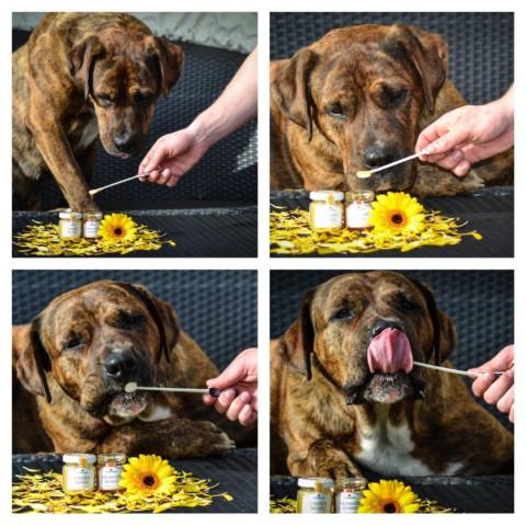 Honig im Hunde- [Chilli] Napf