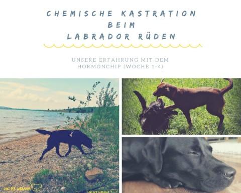 CHEMISCHE KASTRATION BEIM LABRADOR RÜDEN: UNSERE ERFAHRUNG MIT DEM HORMONCHIP (WOCHE 1-4)