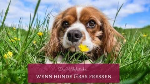 Die Wahrheit über Hunde, die Gras fressen