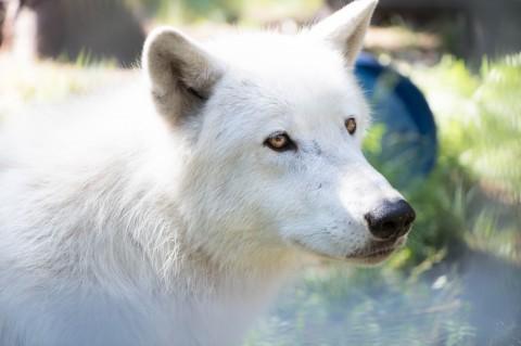 Träume leben lassen – mein Besuch bei den Wölfen