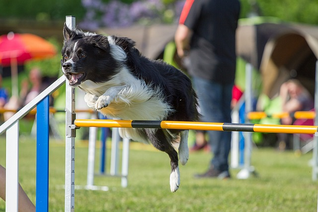 Hunderasse Border Collie