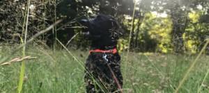 Das Leben mit einem Labrador