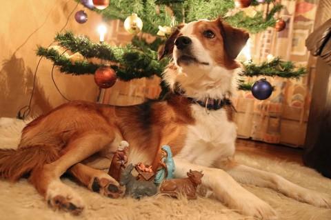 Der Hund in der weihnachtlichen Krippe