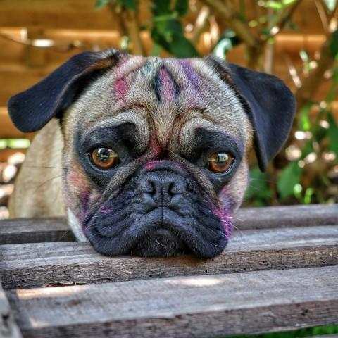 #pridedogschallenge
