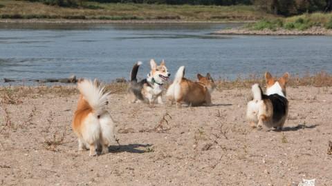 Warum der Corgi kein echter Hund ist – das Problem mit der Niedlichkeit