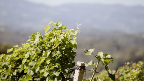 Umgeben von Weinbergen