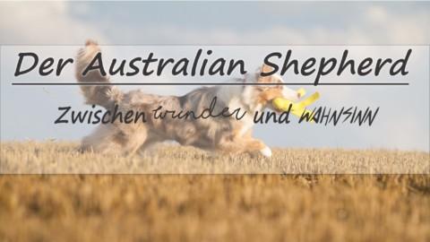 Der Australian Shepherd – zwischen Wunder und Wahnsinn