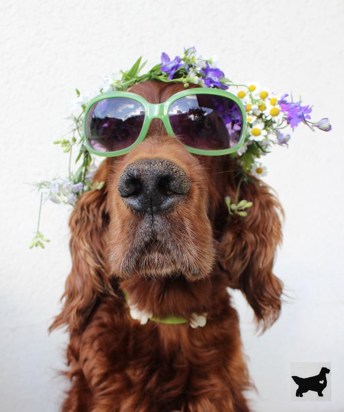 Irischer Setter mit Sonnenbrille