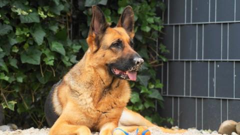 Vorurteile bei Schäferhunden