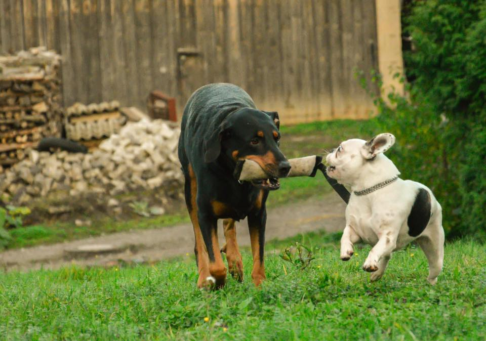 Jayda+dori-Dobermannmixmitbulldogge