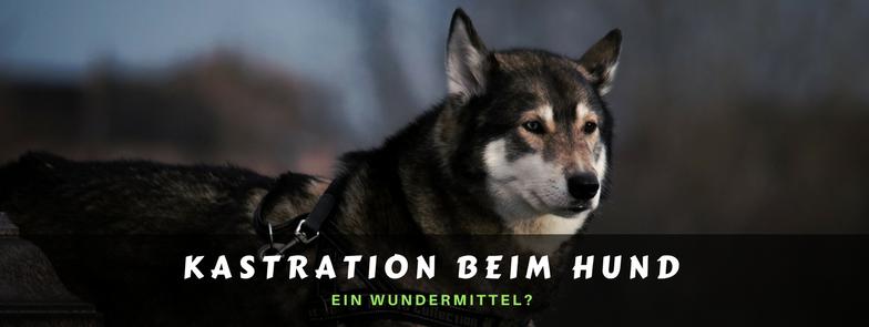 Kastration beim Hund - ein Wundermittel?