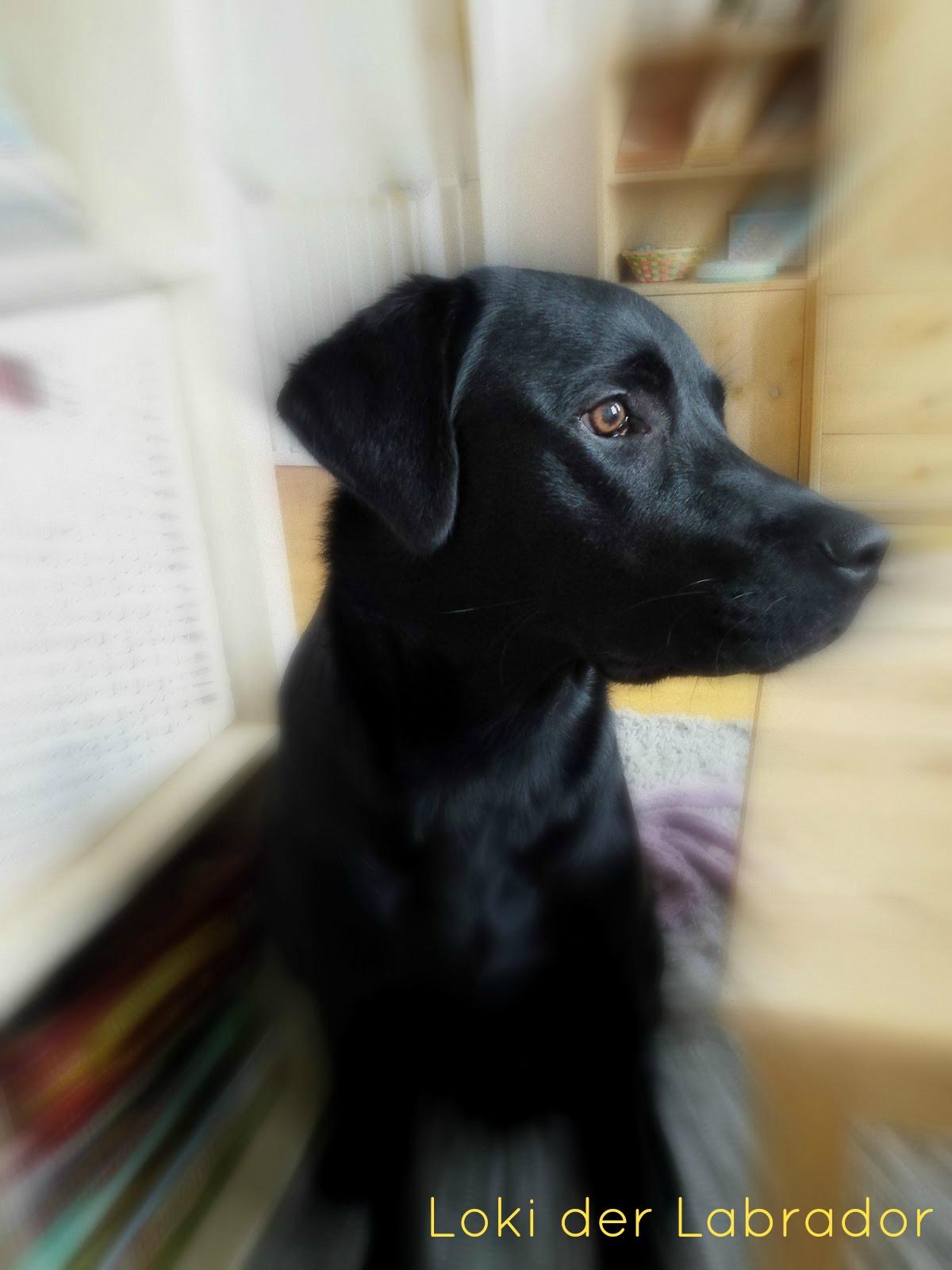 Loki der Labrador Pubertät