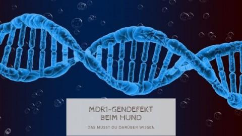 MDR1-Gendefekt beim Hund