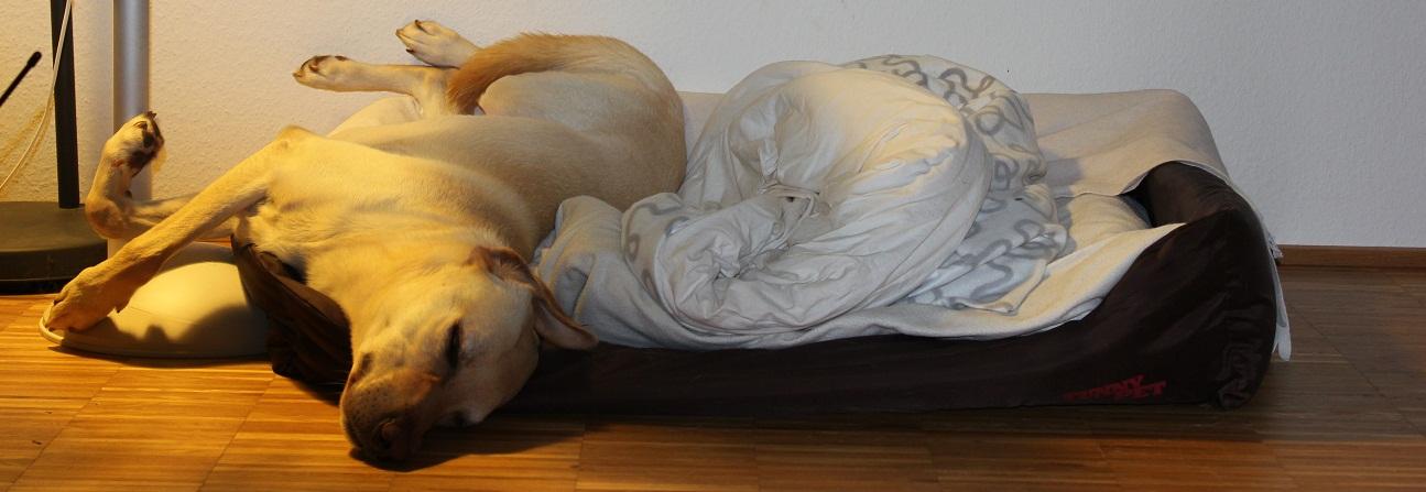 Goldimplantate für den Hund
