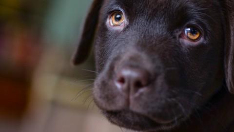 OCD der Schulter – Gelenkerkankung beim Junghund