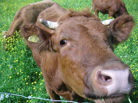 Jule und die Kühe