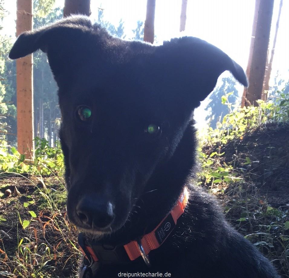Hund mit PRA in Dunkelheit mit Geräuschen führen
