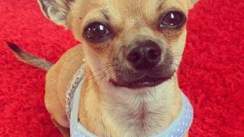 Halsband oder Hundegeschirr bei Kleinhunden?