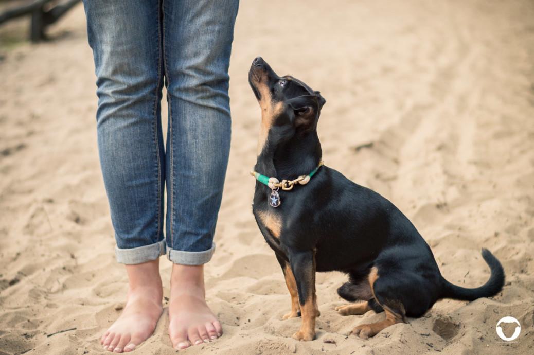 pinscher buddy Erziehung kleiner Hund
