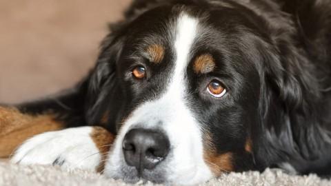 Schnelle Hilfe bei Gelenkschmerzen & Entzündung beim Hund – der Quarkwickel