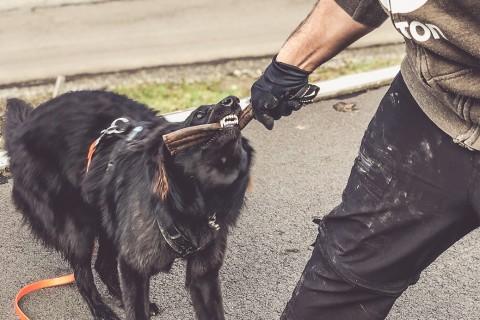 Rasseportrait: Warum wir uns für einen Belgischen Schäferhund entschieden haben