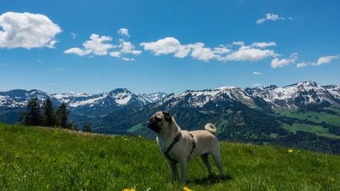 Bergwandern mit Mops zum Gipfel Renkknie, Vorarlberg