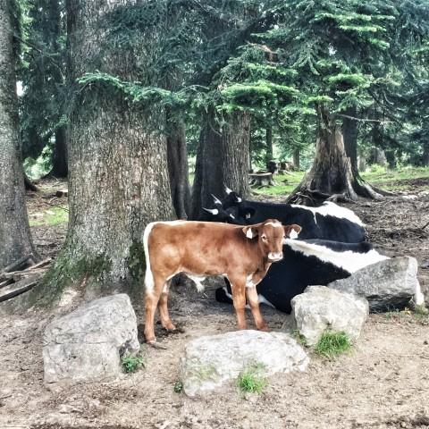 Pauli liest: Die Kuh – eine Hommage