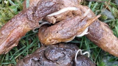 Würmer bei Hundewelpen