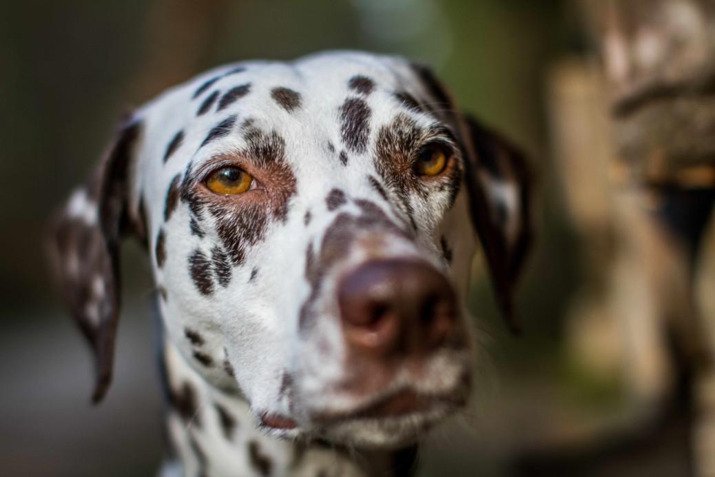 Schildrüsendysfunktion beim Hund
