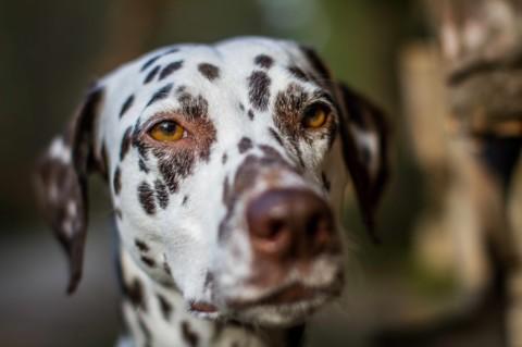 Schilddrüsendysfunktion beim Hund