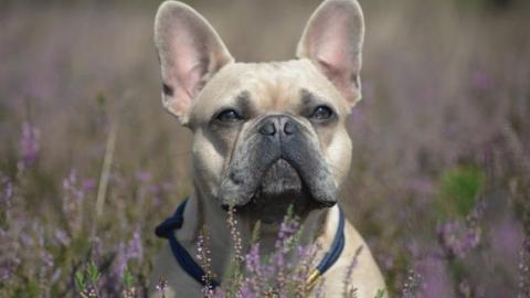 EVA und ihre französischen Bulldoggen