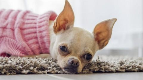 Trachealkollaps / Verengte Luftröhre beim Hund