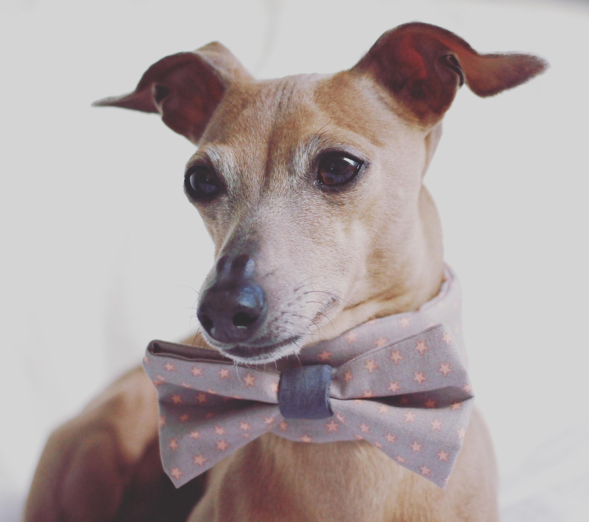 Warum eine Schleife am Hund lebenswichtig sein kann vermopst gelber Hund