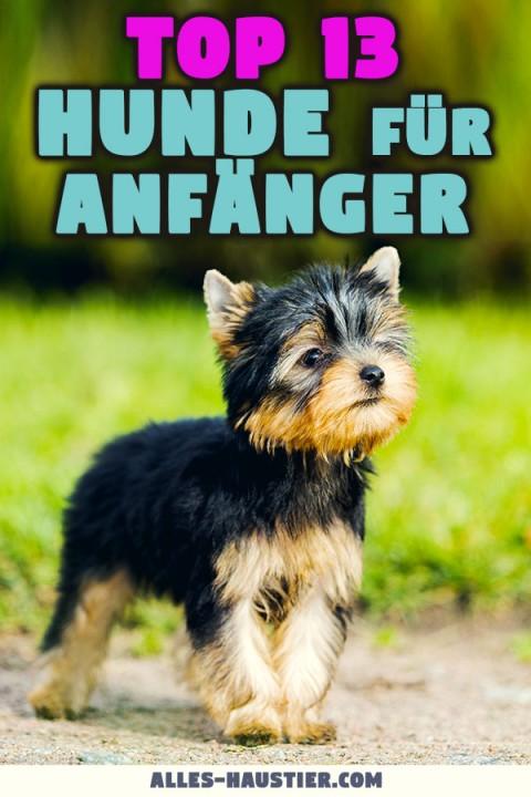 Die besten Hunderassen für Anfänger