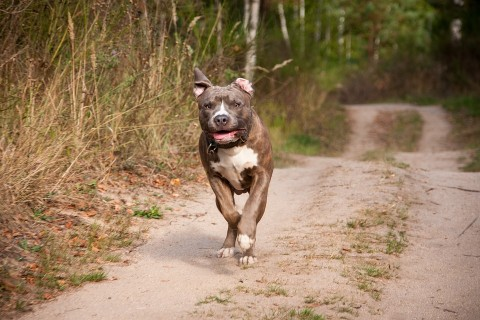 Der American Pitbull Terrier – Rasseportrait