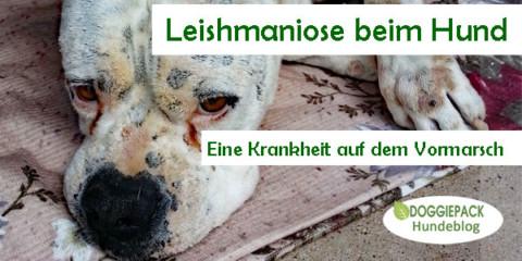 Leishmaniose beim Hund – Eine Krankheit auf dem Vormarsch