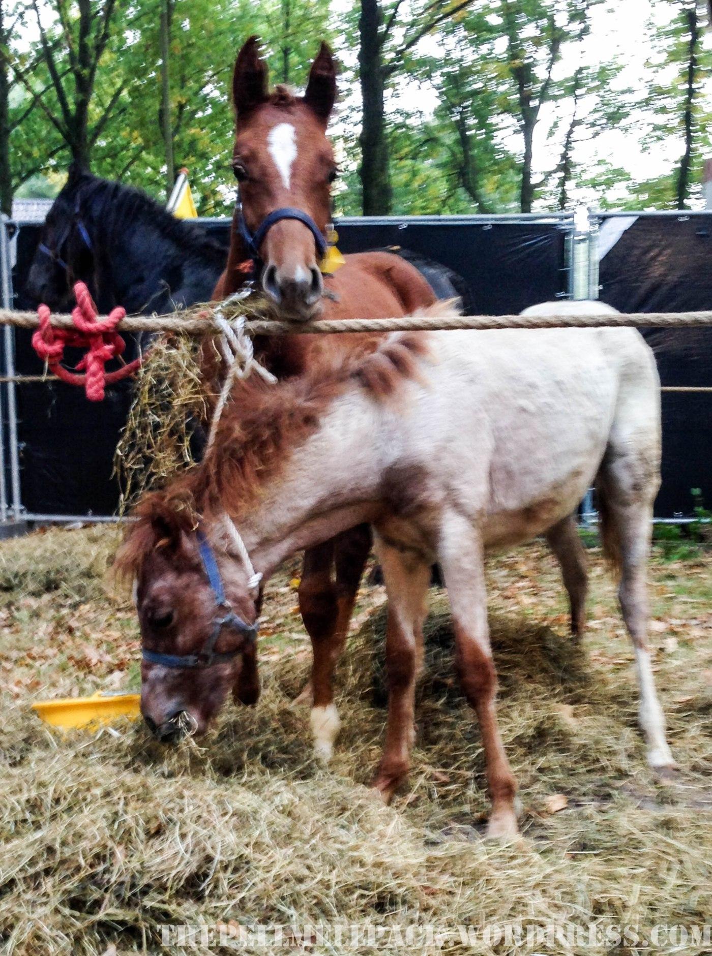pferdemarkt-zuidlaren