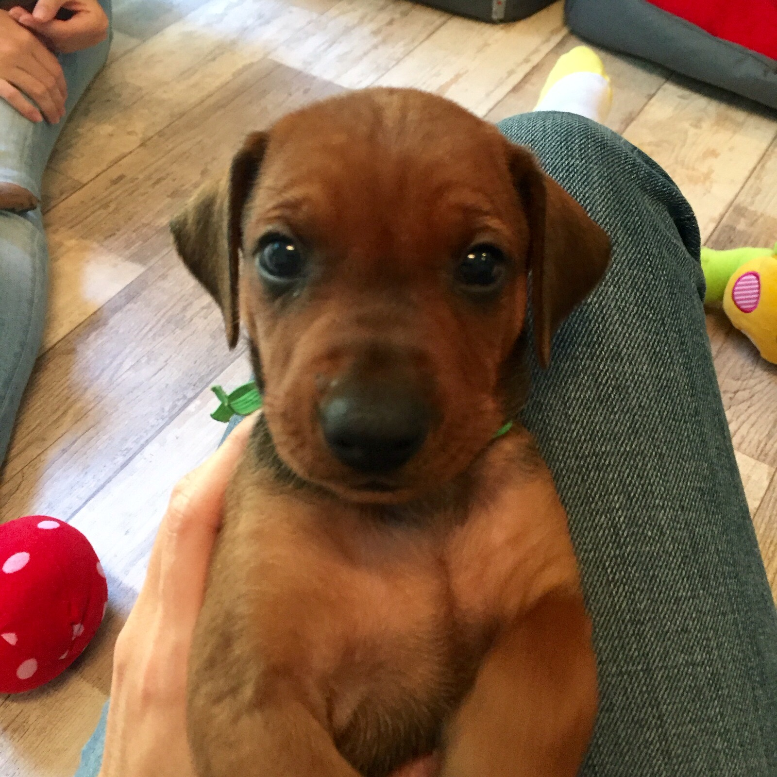 Pinscher Kennenlerngeschichte Hund