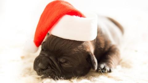 Weihnachten mit Hund sicher gestalten